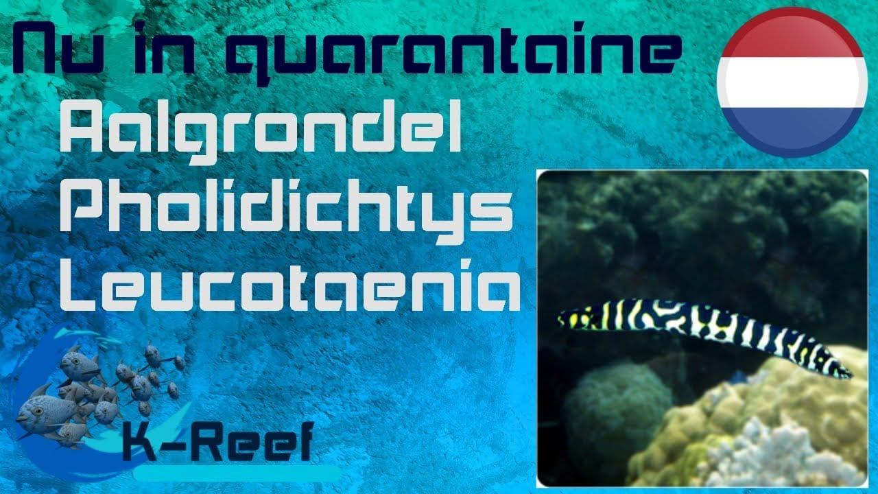 aalgrondel/pholidichtys leucotaenie 24