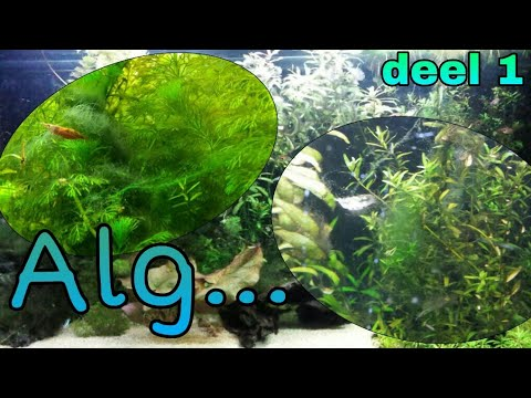 Alg in het aquarium 1
