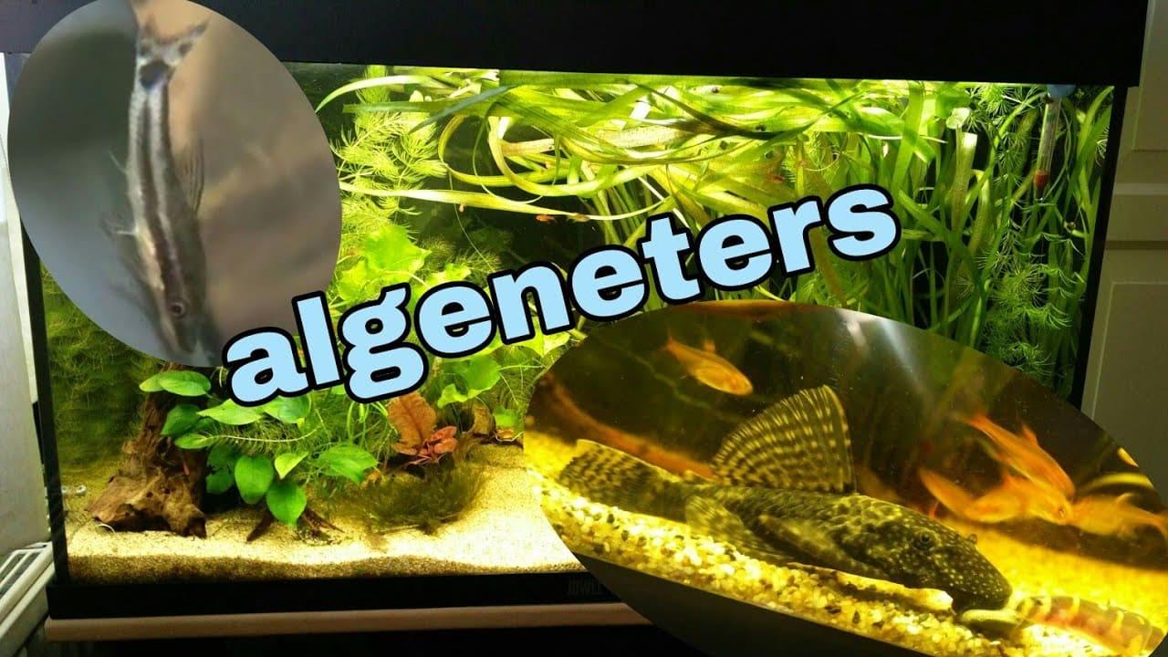 Algeneters 13