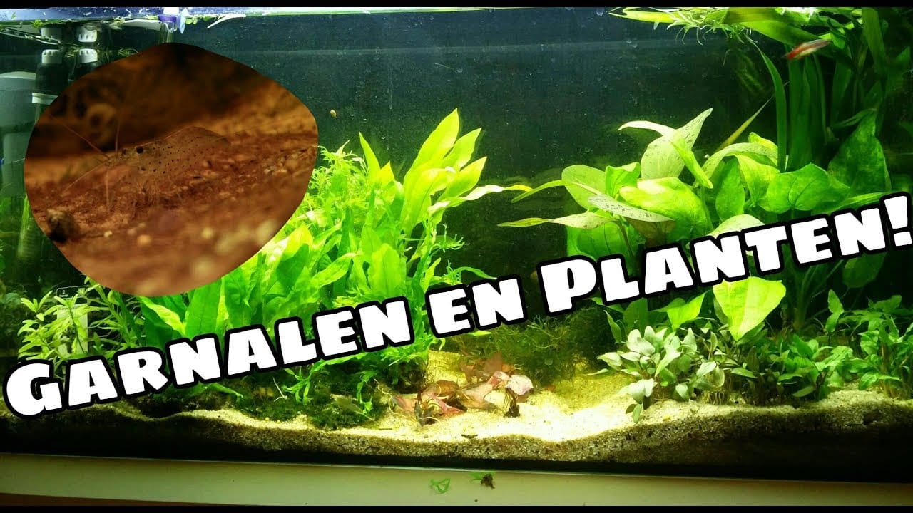 Aquariumplanten en garnalen 2