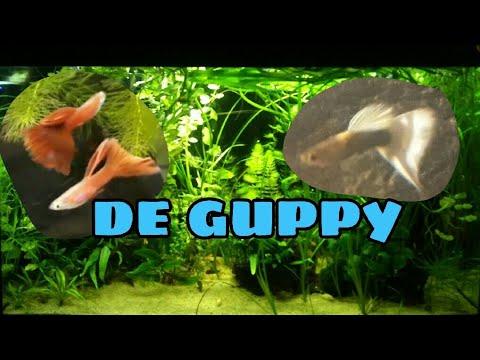 De guppy, wat moet je weten? 1