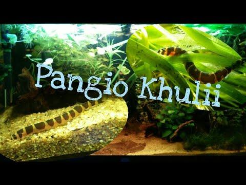 De Pangio Kuhlii 1