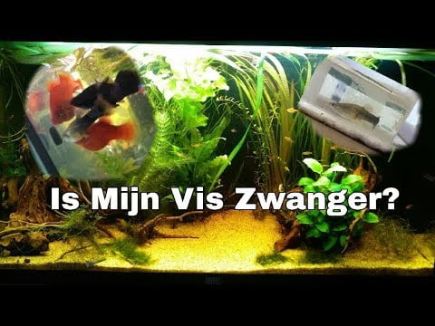 Hoe zie je of je vis zwanger is? 1