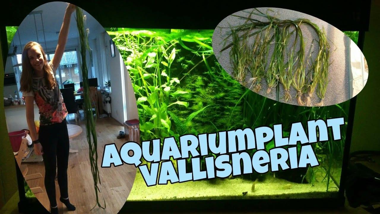 Vallisneria, verschillende soorten, snoeien en meer 1