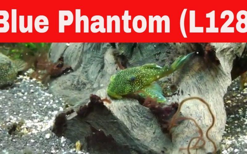 Blue Phantom Pleco L128 28