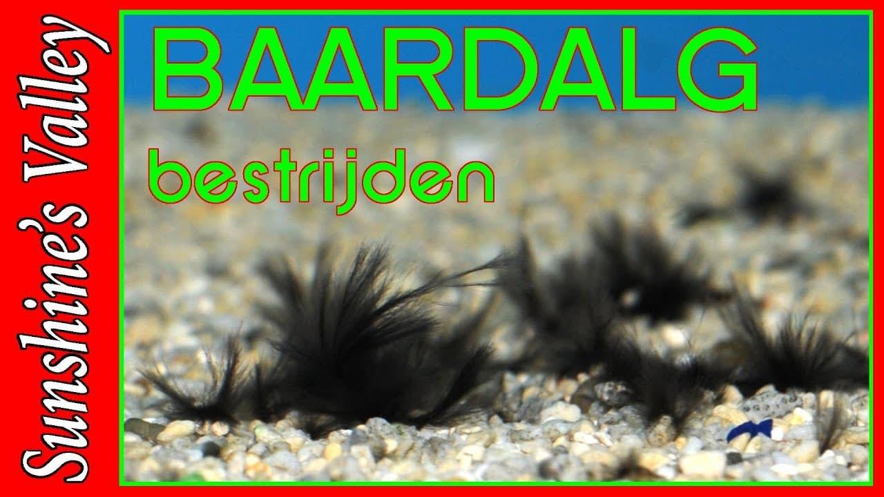 Baardalg 9