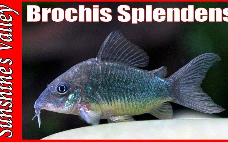 Brochis splendens 1