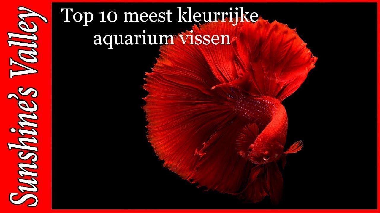 Top 10 kleurrijke aquariumvissen 4