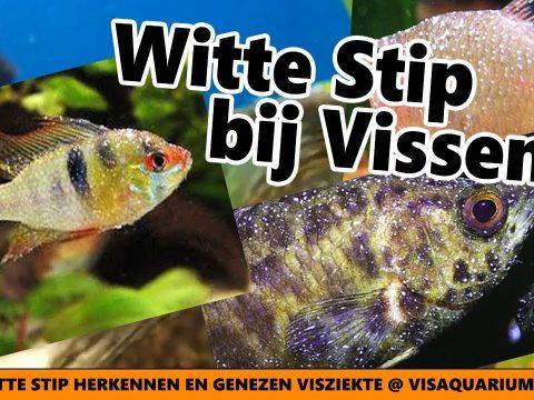 Witte stip 4