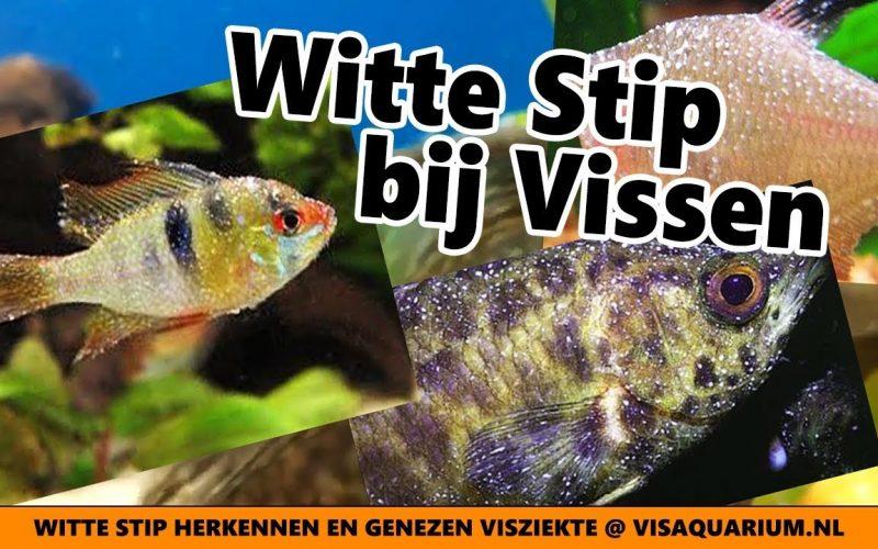 Witte stip 12