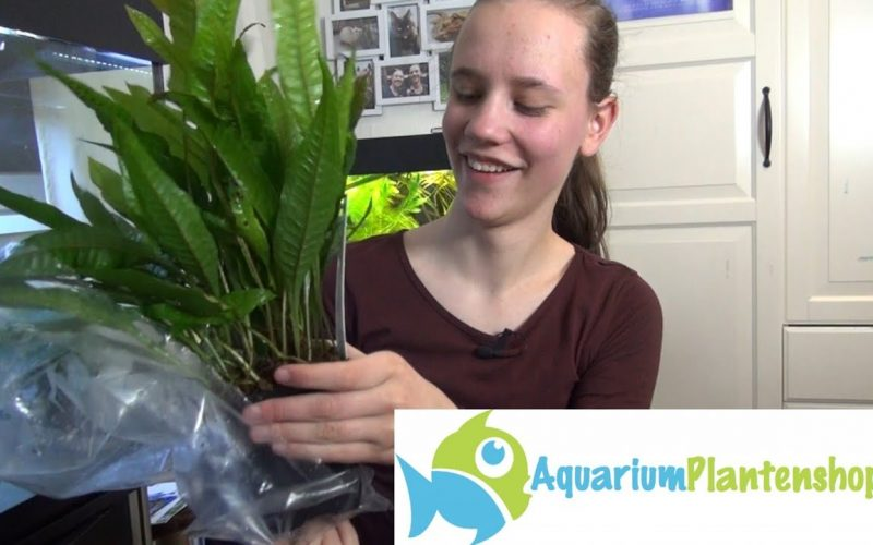 Planten bij sluierstaart aquarium 6