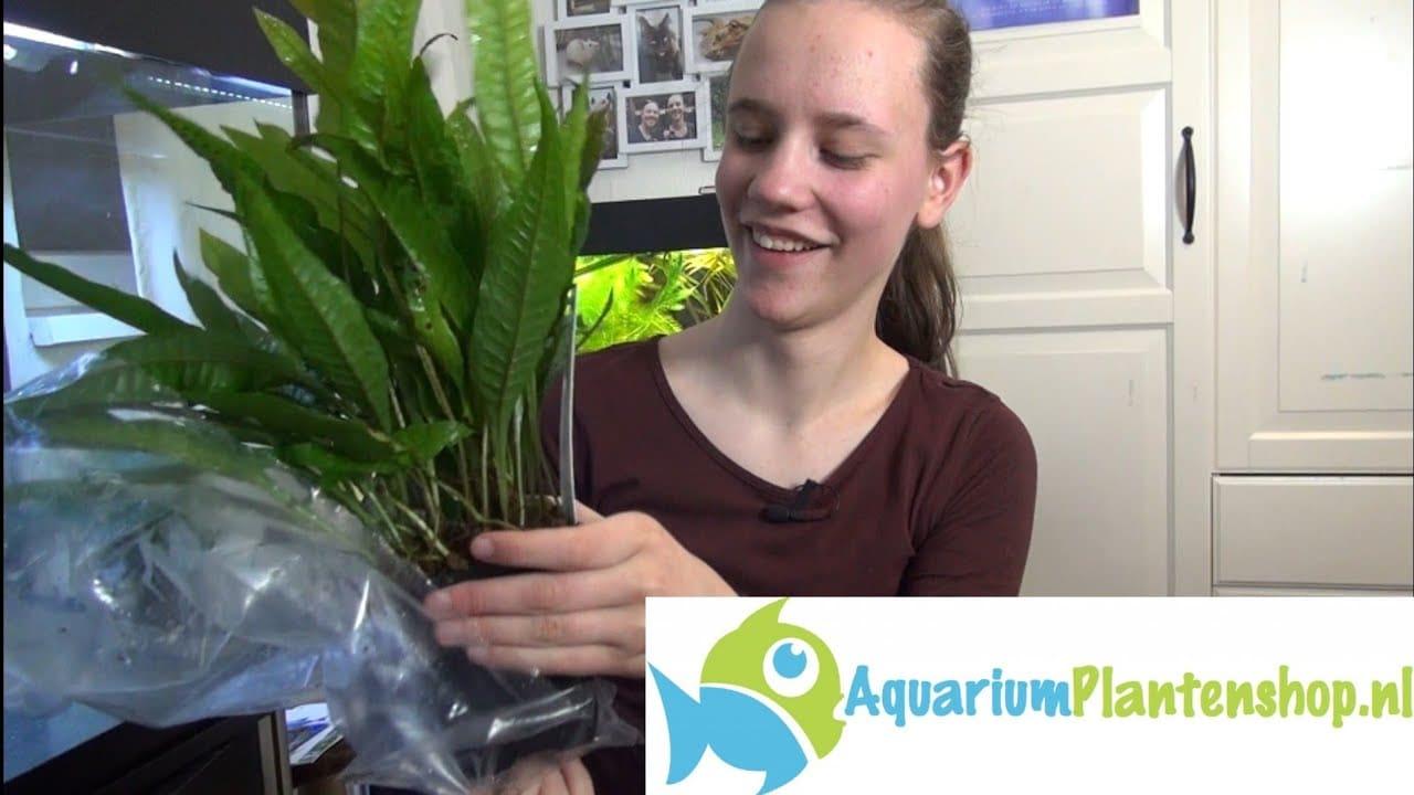 Planten bij sluierstaart aquarium 1