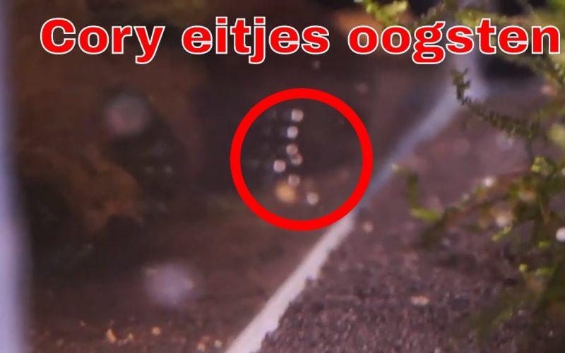 Corydoras eitjes 1