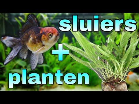 Aquarium planten sluierstaart 1