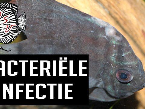 Bacteriele infectie bij vissen 6