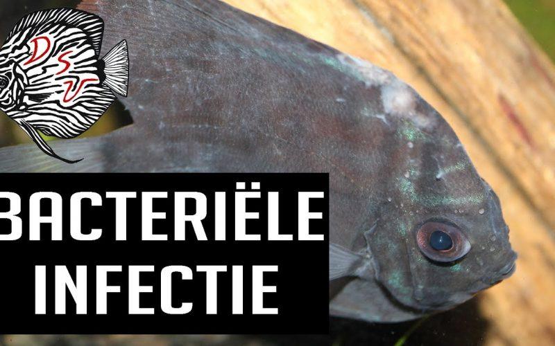 Bacteriële infectie bij vissen 6
