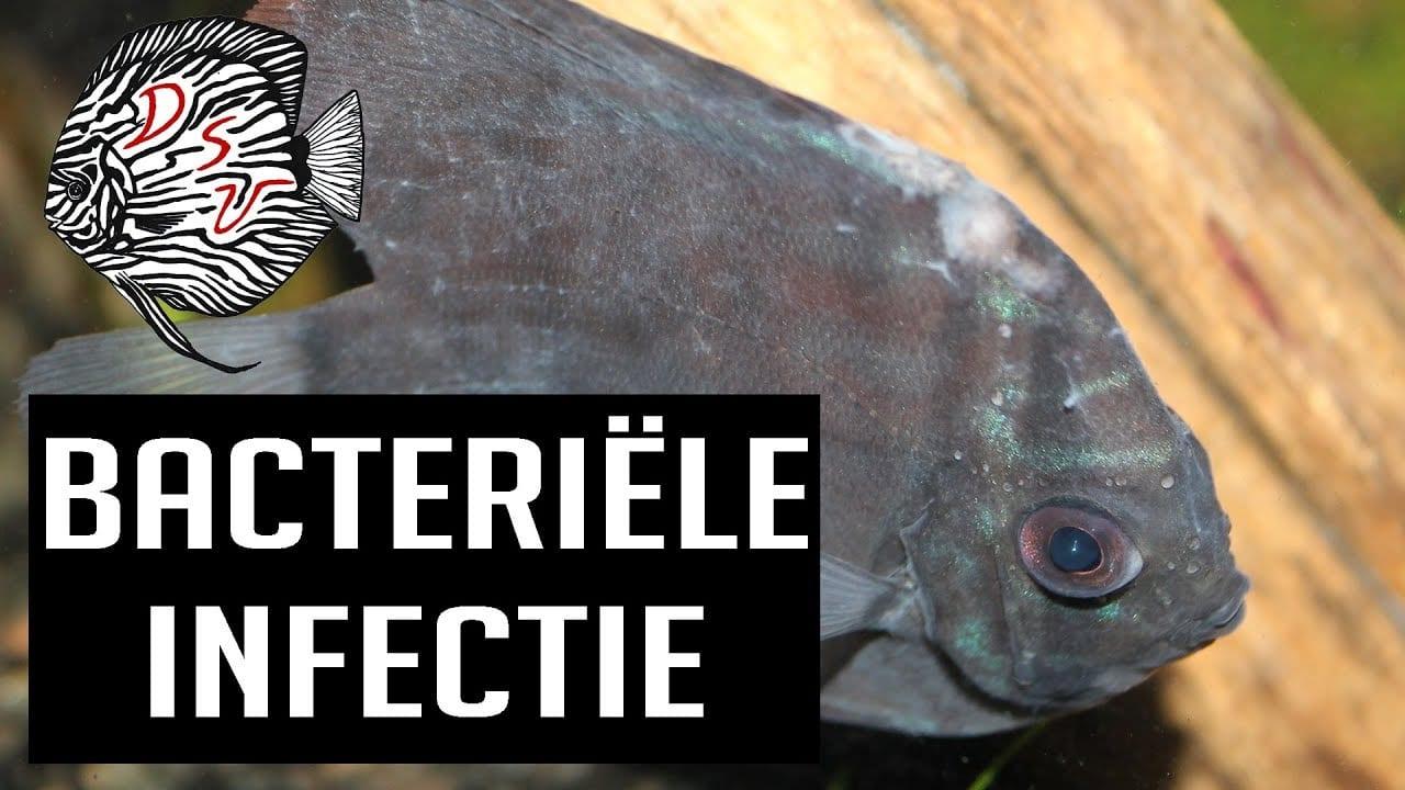 Bacteriele infectie bij vissen 4
