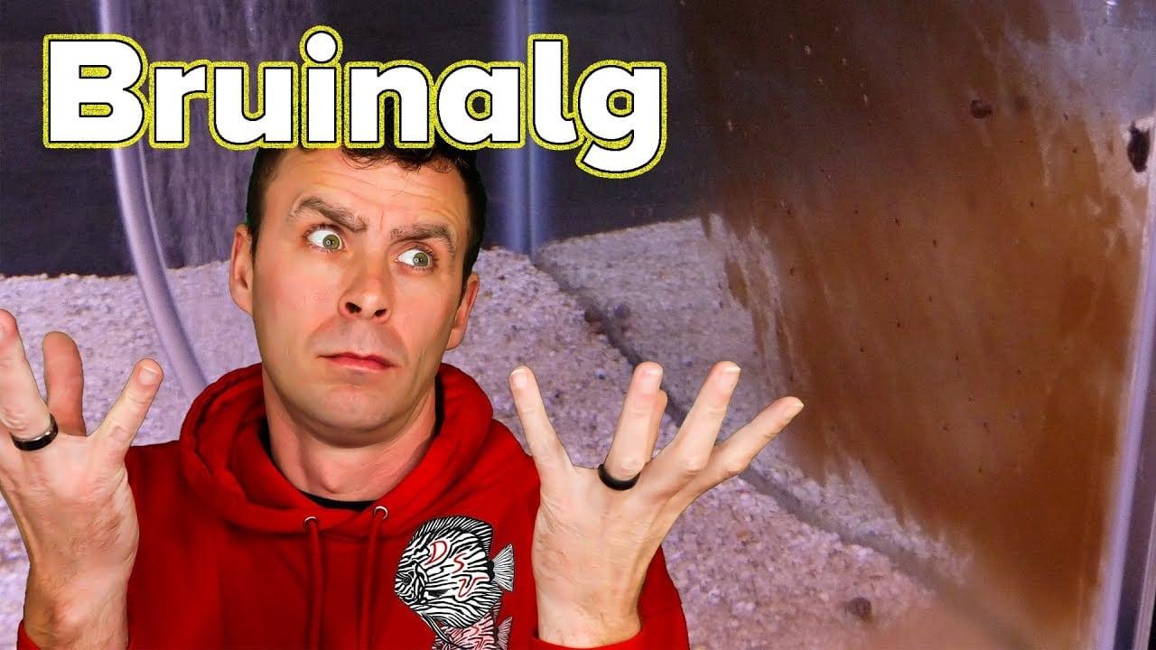 Bruinalg 4