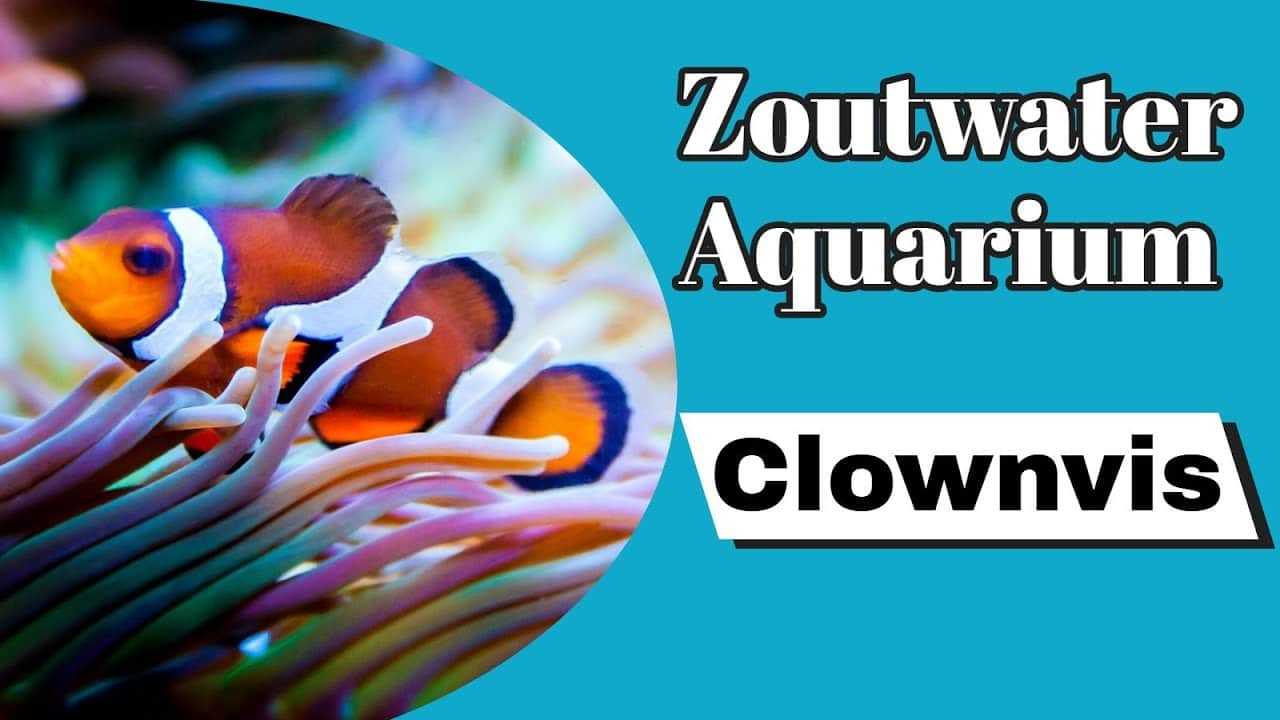 Clownvis Nemo 6