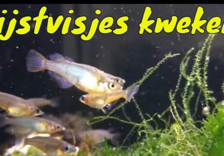 Hoe kweek je Oryzias woworae (Daisy's rijstvisje) 2
